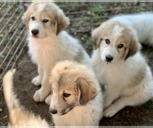 Great Pyrenees Puppy for sale in YORKVILLE, IL, USA