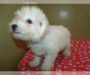 Bichon Frise Puppy for sale in PATERSON, NJ, USA