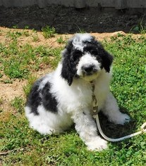 Pyredoodle Puppy For Sale in DALLAS, GA, USA