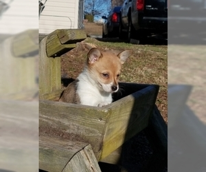 Pembroke Welsh Corgi Puppy for sale in ROLLA, MO, USA