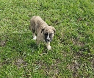 Border Collie-Bullmastiff Mix Puppy for sale in GRANTSBURG, WI, USA