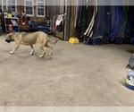 Small #4 Great Dane-Labrador Retriever Mix
