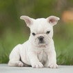 French Bulldog Puppy For Sale in FORT PIERCE, FL, USA