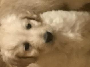 Goldendoodle F1 standard  puppies