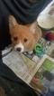 Pembroke Welsh Corgi Puppy For Sale in TRAFFORD, PA, USA