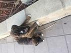 Boxer Puppy For Sale in CORONA, CA, USA