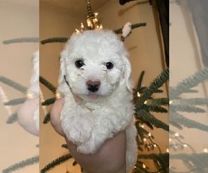 Bichon Frise Dog for Adoption in VANCOUVER, Washington USA