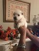 CKC West Highland White terrier pups