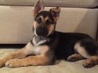 German Shepherd Dog Puppy For Sale in POMONA PARK, FL, USA