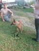Belgian Malinois Puppy For Sale in MERCER, PA, USA