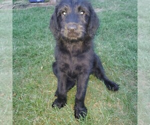 Labradoodle Puppy for Sale in OZARK, Alabama USA
