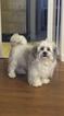 Shichon Teddy Bear Puppy