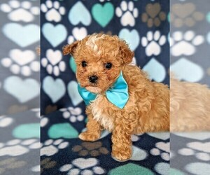 Bichon Frise Puppy for sale in NOTTINGHAM, PA, USA
