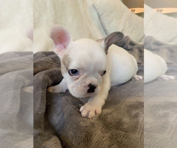 Medium Photo #10 French Bulldog Puppy For Sale in JOHNS ISLAND, SC, USA