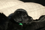 Labradoodle Puppy For Sale in HILLSBOROUGH, North Carolina,