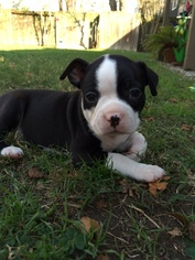 Boston Terrier Puppy For Sale in KATY, TX