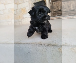 Yorkshire Terrier Puppy for sale in LEANDER, TX, USA