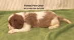 Cavalier King Charles Spaniel Puppy For Sale in SMITHVILLE, Mississippi,