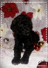 Poodle (Standard) Puppy For Sale in VICTORVILLE, CA
