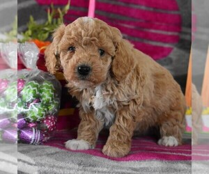 Poodle (Toy) Puppy for sale in GORDONVILLE, PA, USA