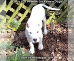 Small Photo #211 Dogo Argentino Puppy For Sale in PINEVILLE, MO, USA