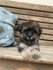 Havanese Puppy For Sale in MOUNT PLEASANT, SC