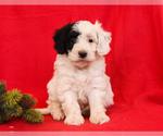 Puppy 5 Aussie-Poo