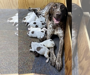 German Shorthaired Pointer Puppy for sale in ORCHARD PARK, NY, USA