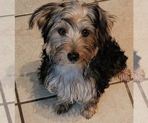 Yorkshire Terrier Puppy for sale in HUDDLESTON, VA, USA
