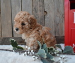 Small #6 Poodle (Miniature)