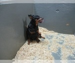 Small Miniature Pinscher