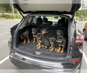 Rottweiler Puppy for sale in PALM COAST, FL, USA