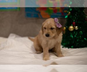 Golden Retriever Puppy for Sale in ACTON, California USA