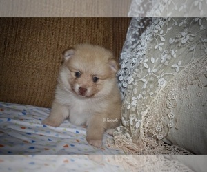 View Ad: Pomeranian Puppy for Sale near Louisiana, GRAYSON, USA  ADN