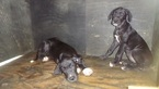 Great Dane Puppy For Sale in JACKSONVILLE, GA,