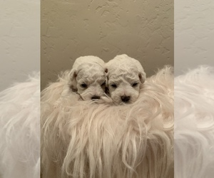 Bichon Frise Puppy for sale in WOODLAKE, CA, USA