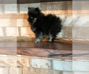 Pomeranian Puppy for Sale in STAPLES, Minnesota USA