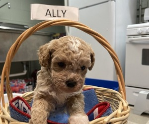 Goldendoodle-Poodle (Miniature) Mix Dog for Adoption in BEECH GROVE, Indiana USA