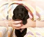 Puppy 1 Goldendoodle-Labrador Retriever Mix