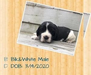 English Springer Spaniel Puppy for sale in CORPUS CHRISTI, TX, USA