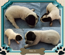 German Shorthaired Pointer Puppy For Sale in COLUMBIA CITY, IN