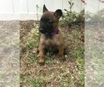 Small Photo #4 Belgian Malinois Puppy For Sale in WAYCROSS, GA, USA