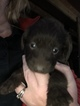 Labradoodle Puppy For Sale in URBANA, OH, USA