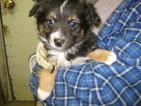 Australian Shepherd Puppy For Sale in PLATTEVILLE, CO
