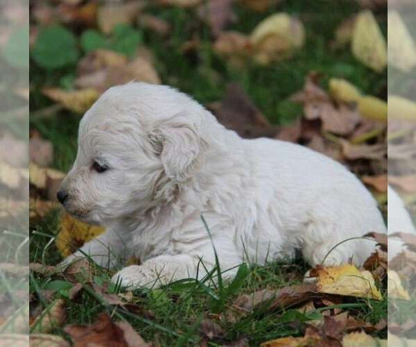 Medium Photo #2 Goldendoodle-Poodle (Miniature) Mix Puppy For Sale in STANLEY, WI, USA