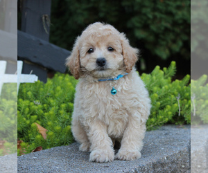 Cantel Puppy for sale in KINZERS, PA, USA