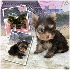 Yorkshire Terrier Puppy For Sale in ADAMSVILLE, TN, USA