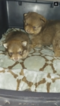 Pomeranian Puppy For Sale in SUN PRAIRIE, WI