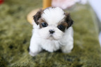 Shih Tzu Puppy For Sale in ROWLAND HGTS, CA, USA