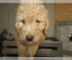 View Ad Goldendoodle Miniature Litter Of Puppies For Sale